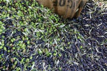 Cold Presses Palestinian Olives, make a peppery olive oil when cold pressed