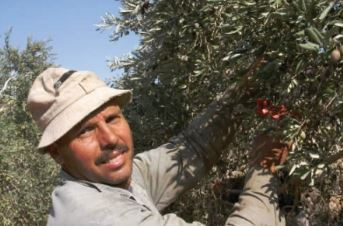 A Palestinian picks olives for Zaytoun olive oil which is made under fair trade conditions